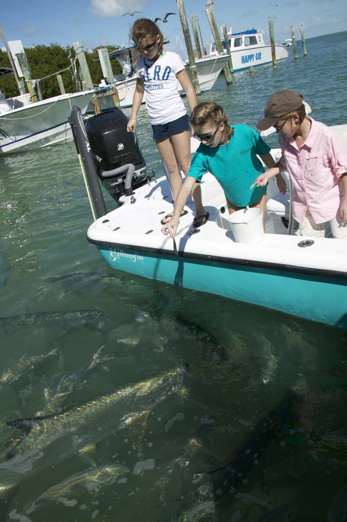 Tarpon Feeding in Islamorada
